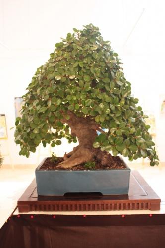 Bonsai Ficus Microcarpa - Club Bonsai Espadan - torrevejense
