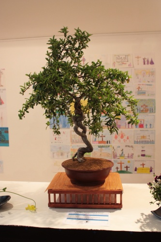 Bonsai Piracanta - Novelda Club Bonsái - torrevejense