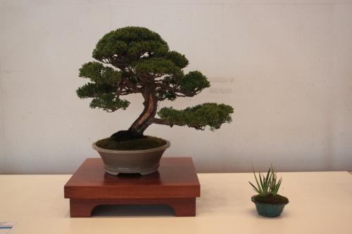 Bonsai Juniperus Chinensis Itoigawa - torrevejense