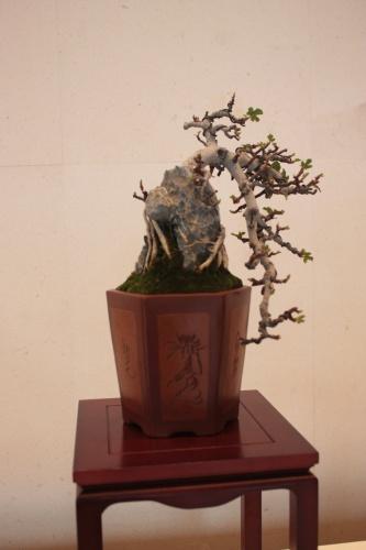 Bonsai Ficus carica sobre Roca - torrevejense