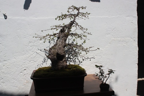 Bonsai Olmo de Domingo Ramirez - Bonsai Oriol