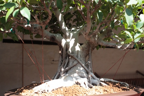 Bonsai Tronco Ficus Retusa, Jose Garrigos - Bonsai Oriol