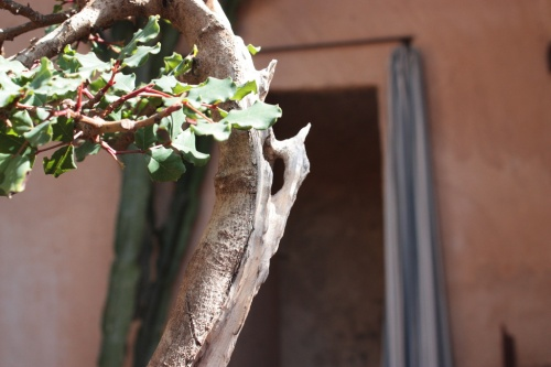 Bonsai Detalle Garrofero - Bonsai Oriol