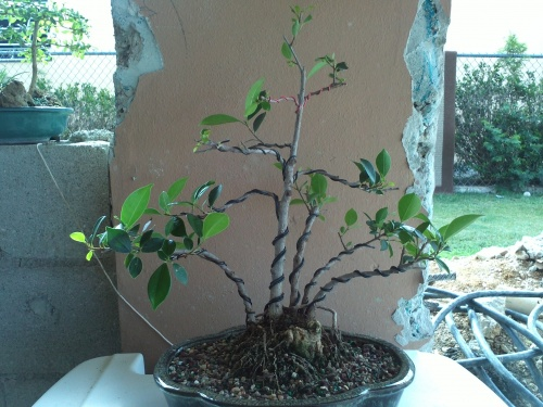 Bonsai Ficus - jimmy