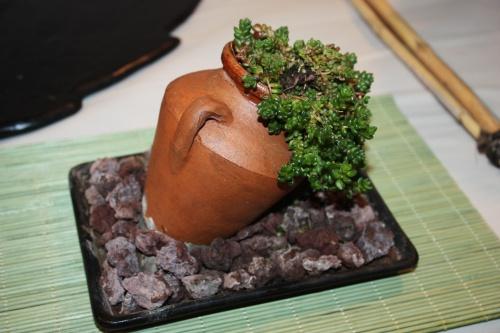 Bonsai 10682 - CBALICANTE