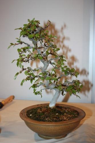 Bonsai Olmo - CBALICANTE