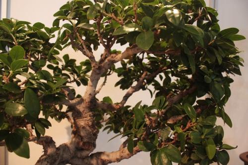 Bonsai Ramas Ficus - CBALICANTE