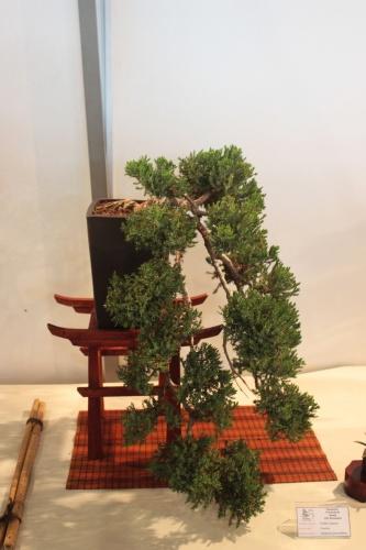 Bonsai Juniperus Procumbens en Cascada - CBALICANTE