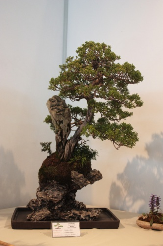 Bonsai Enebro Chino - Juniperus Chinensis - CBALICANTE