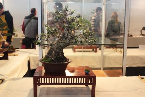 Bonsai Acebuche - CBALICANTE