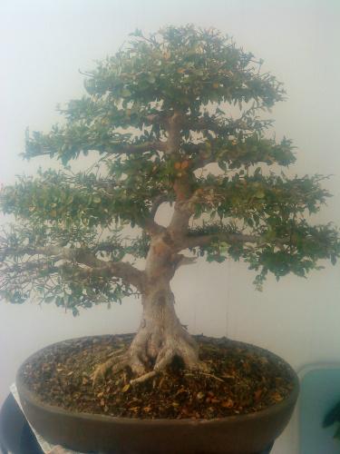 Bonsai 11074 - aviguer