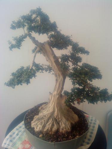 Bonsai 11078 - aviguer