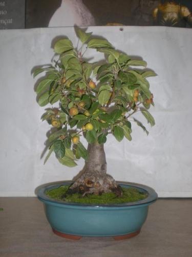 Bonsai Manzano - Sueca