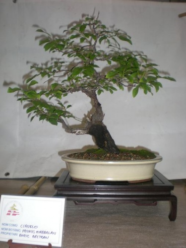 Bonsai Prunus mahaleb - Sueca
