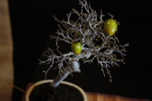 Bonsai Kaki - Bonsai Oriol