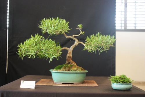 Bonsai Espino Comun - Bonsai Oriol
