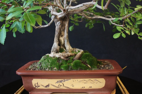Bonsai Falsa Pimentera - Bonsai Oriol