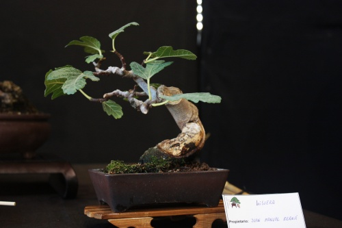 Bonsai Higuera - Bonsai Oriol