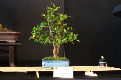 Bonsai Fortunela - Bonsai Oriol