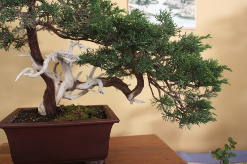 Bonsai Juniperus Sabina - Assoc. Bonsai Cocentaina