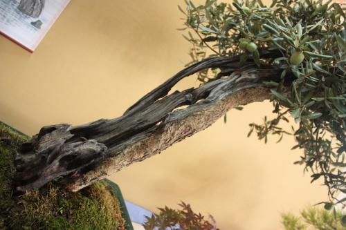 Bonsai Olea Europaea - Assoc. Bonsai Cocentaina