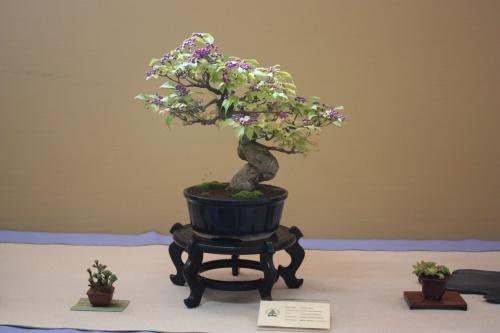 Bonsai Callicarpa Japonica - Assoc. Bonsai Cocentaina