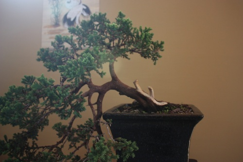 Bonsai Enebro Escamoso - Juniperus Squamata - Assoc. Bonsai Cocentaina