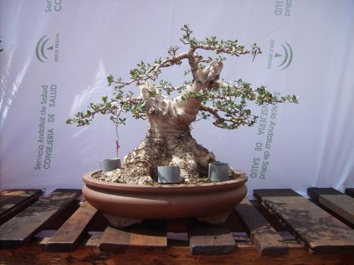 Bonsai 11406 - BALDOMERO