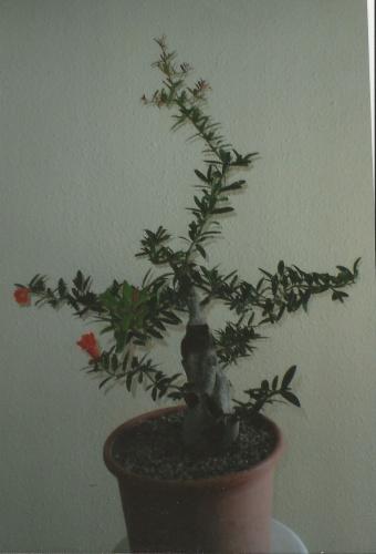 Bonsai 11506 - vicente solbes