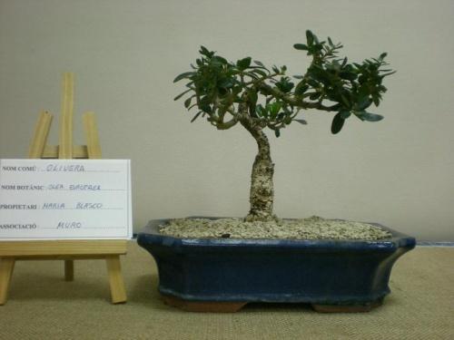 Bonsai Olivo Olea Europaea - Assoc. Bonsai Muro
