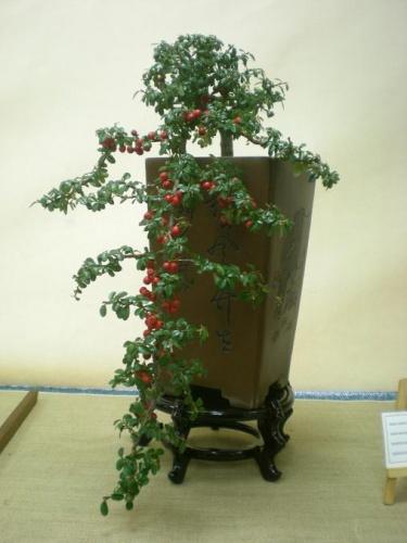 Bonsai 11570 - Assoc. Bonsai Muro