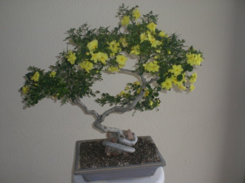 Bonsai 11598 - vicente solbes