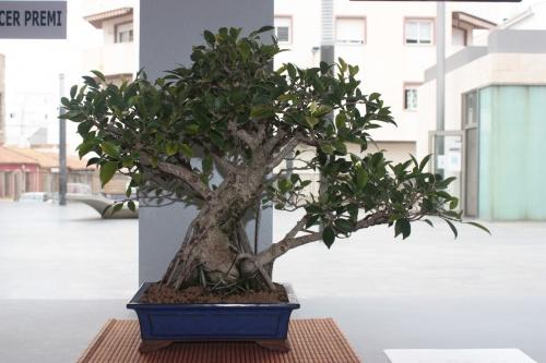 Bonsai Ficus - Asociación Mediterránea de Bonsai - torrevejense