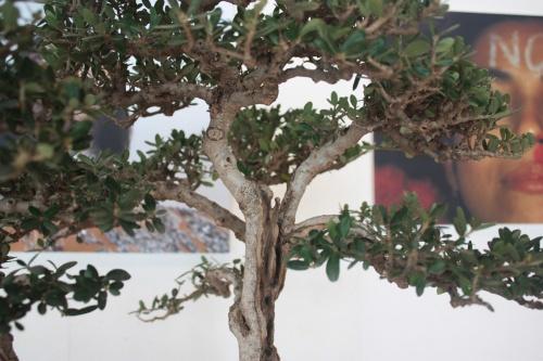 Bonsai Detalles ramas de Acebuche del Club Bonsai Oriol - torrevejense