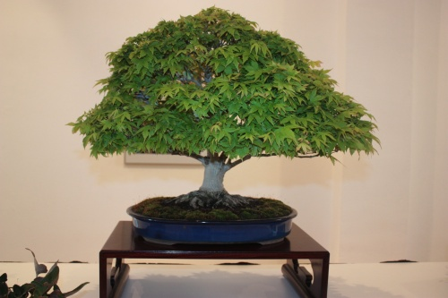 Bonsai Arce Kashima - Club Bonsai Alicante - torrevejense