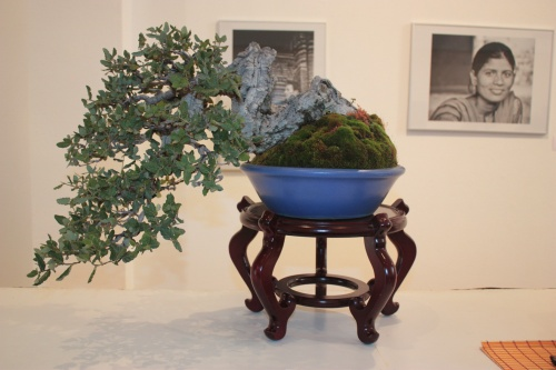 Bonsai Alcornoque - Quercus Suber - torrevejense