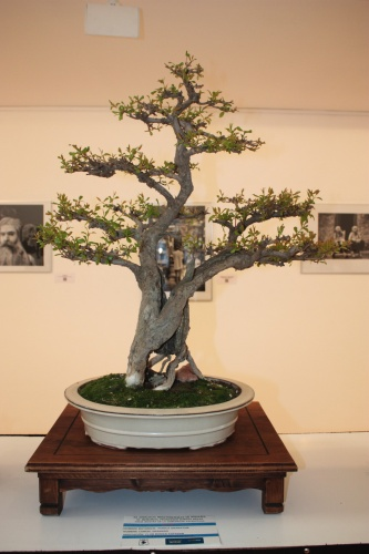Bonsai Granado del Club Bonsai Espadan - torrevejense