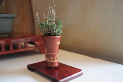 Bonsai kusamono - conico - torrevejense