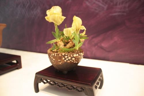 Bonsai kusamono - Flor Amarilla - torrevejense