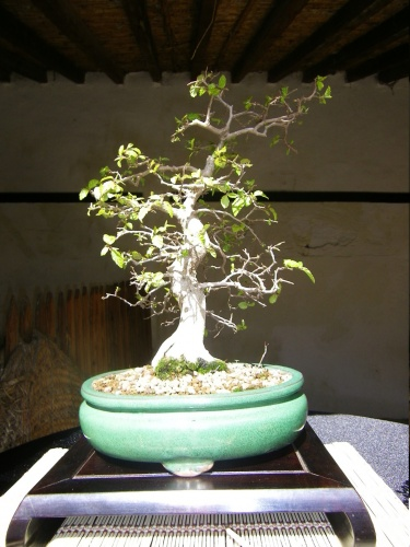 Bonsai Carpe - Bonsai Oriol
