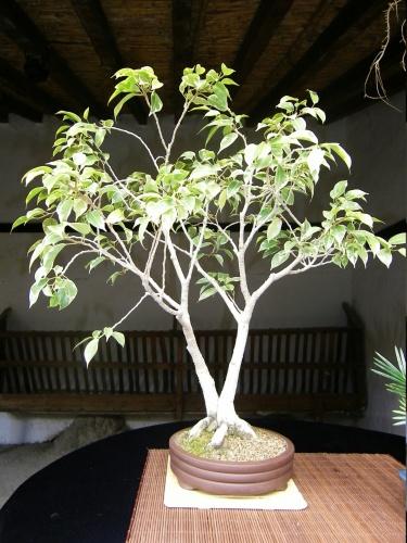 Bonsai Ficus Benjamina - Bonsai Oriol