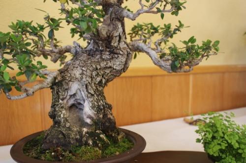Bonsai Tronco de Olea Europaea ( Ullastre ) - CBALICANTE