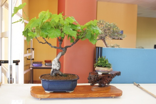 Bonsai Parra ( Vitis vinifera ) - CBALICANTE