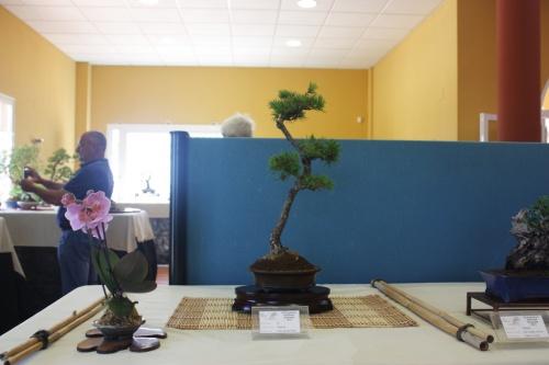 Bonsai Pino ( Pinus sp. ) - CBALICANTE