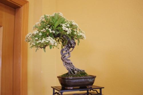 Bonsai Piracanta con Flores de Pedro Conejero ( Pyracangha Coccinea ) - CBALICANTE