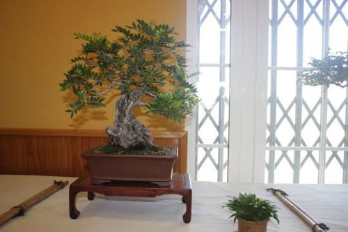 Bonsai Lentisco ( Pistacia Lentiscus ) - CBALICANTE