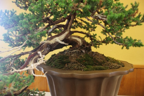 Bonsai Junipero Procumbens - CBALICANTE