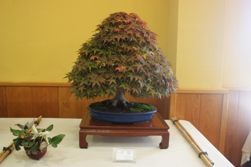 Bonsai Acer Palmatum Deshojo - CBALICANTE