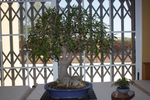 Bonsai Ficus Nerifolia - Foto de mala calidad - CBALICANTE