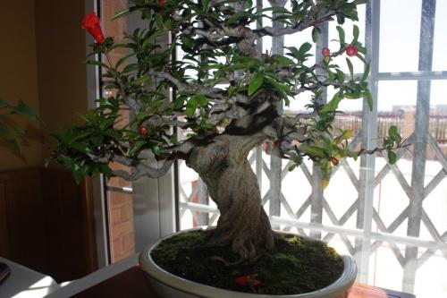 Bonsai Flor de granado - Foto de mala Calidad - CBALICANTE